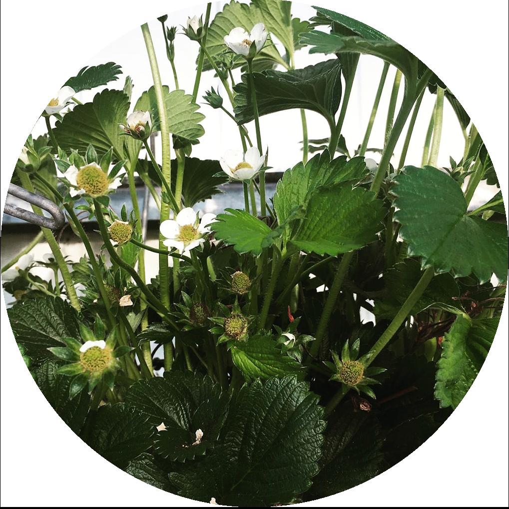 Aardbeienplant rond